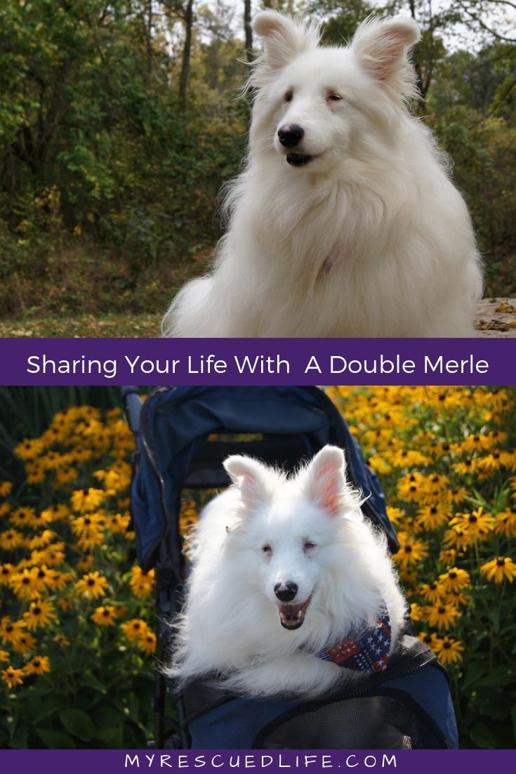 Read The Inspiring Story Of Vinny Treasure And Vegas Three Rescued Deaf And Blind Dogs And Learn More About Adopting And Training Dou Blind Dog Dogs Deaf Dog