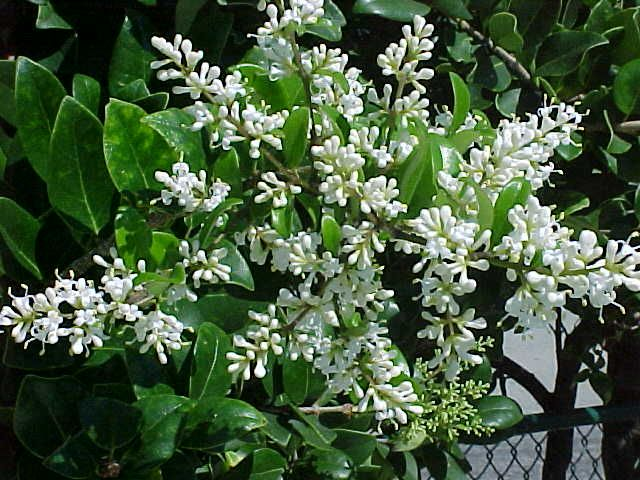 Ligustrum: Very fragrant...abundant, showy clusters of very sweet smelling, white flowers in late spring.