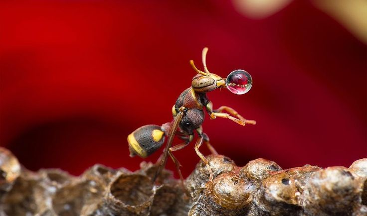 "Featured Photo from the Fstoppers Community - Title: Wasp Blowing Water Bubble Photographer: Lim Choo How — ""Single shot with hand held."" #fstoppers #Nature #MacroInsect #macro #insectphotography #macrophotography #wasp #LimChooHow Learn how to be featured at fstoppers.com/potd-selection"