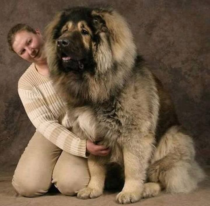 """Russian Caucasian Mountain Dog! via Amazing Things In The World. This """"little"""" pup needs and deserves a nice luxury dog house!! He'll be so happy in a large fenced yard with an awesome big dog house to call his own! http://www.doowaggle.com/ #insulateddoghouses #extralargedoghouses"""