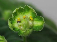 АВ-758-2 Полумахровые некрупные зеленые цветы с темно-зеленым краем. Зеленый цвет выражен очень четко. 2015