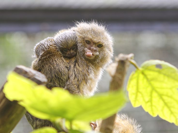 Pygmy Marmoset Monkey with baby (DwergzijdeAapje)