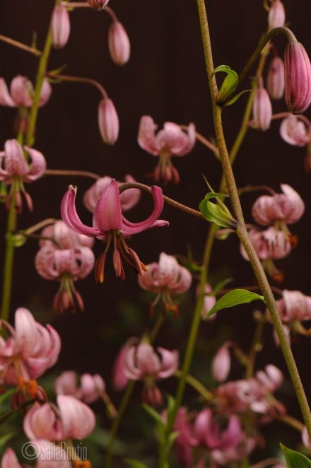 Lilium martagon. Photo Saila Routio.