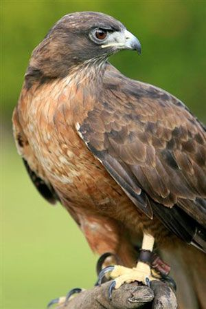 Google Image Result for http://www.sbcondors.com/california-trails/raptor/Red-Tail-Hawk-credit-Ian-Voster-small.jpg