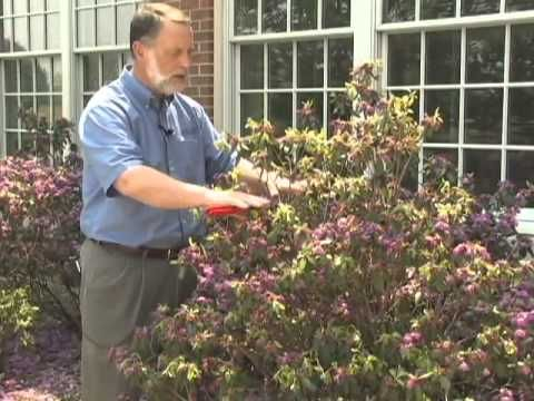 The time to prune Rhododendron and Azaleas is immediately after flowering so you don't remove any flower buds for next year. When you prune, be sure to prune back to a growing point to maintain a healthy shrub.