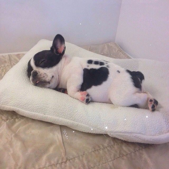 Sleeping French Bulldog Puppy, on his belly with tongue sticking out #baby Spotted Frenchie, Frenchy