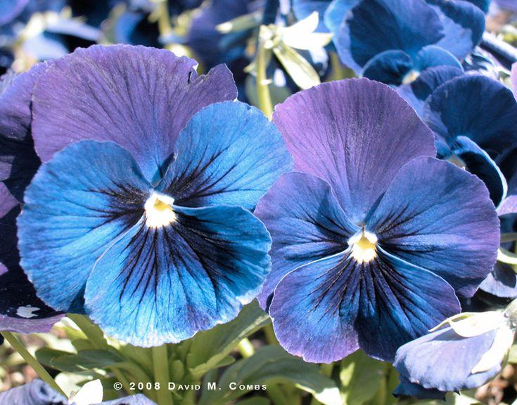 pansyBlue Pansies, Flower Gardens, Pansies Viola, Blue Purple, Pretty Pansies, Pansies Flower, Purple Flower, Flower Tattoo, Favorite Flower