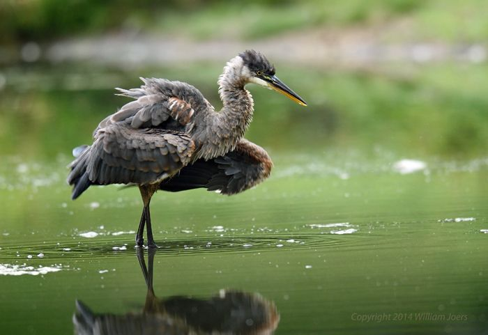 Jeune Grand Héron // Jovem Garça-Azul-Grande // Jugendlich Kanadareiher // Juvenile Great Blue Heron (Ardea Herodias) © William Joers #birds #oiseaux #fauna #wildlife #faune #sauvage #nature #photography #animals #animaux #ardeidae