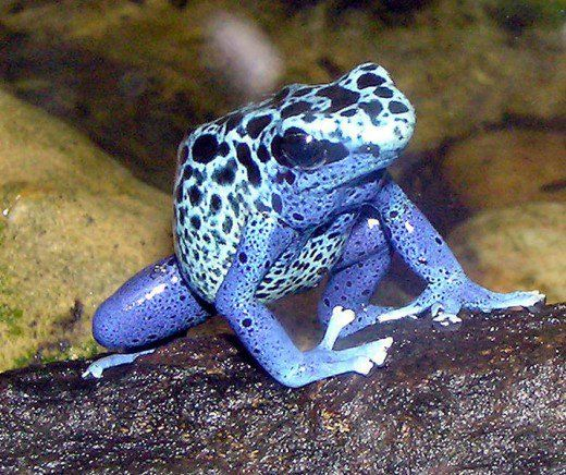 Une des variétés les plus frappantes de la grenouille de dard de poison.