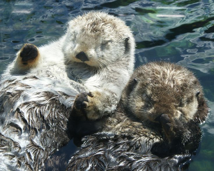 And this would be why I want an otter.....    Otters Hold Hands at the Vancouver Aquarium - August 1, 2011