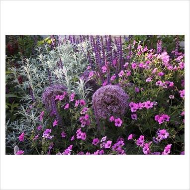 Salvia nemorosa, Allium, Geranium 'Patricia' and Artemisia ludoviciana 'Silver Queen'.