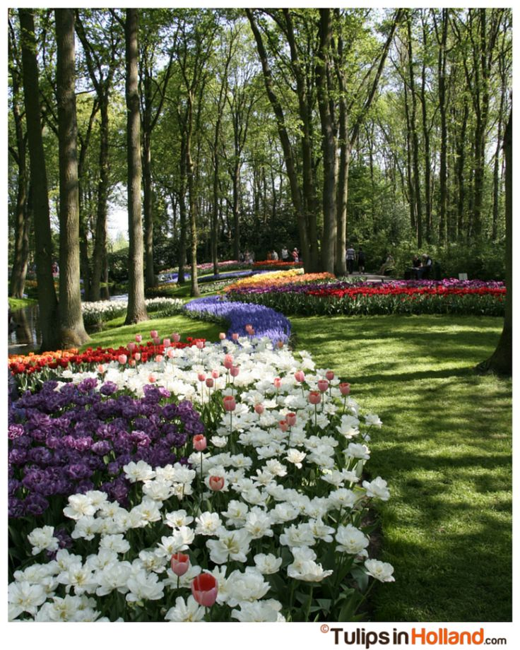 Tulips under the trees at Keukenhof Garden in Holland.