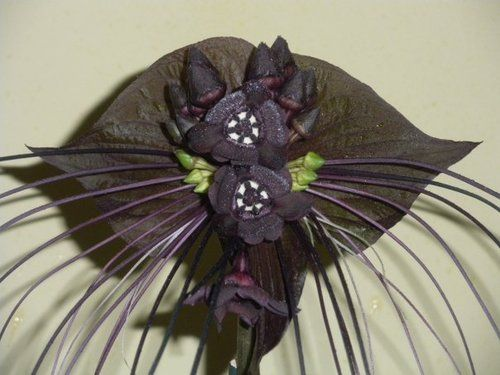 Black bat flowers can be pretty or scary but one thing people can agree on they are unusual.