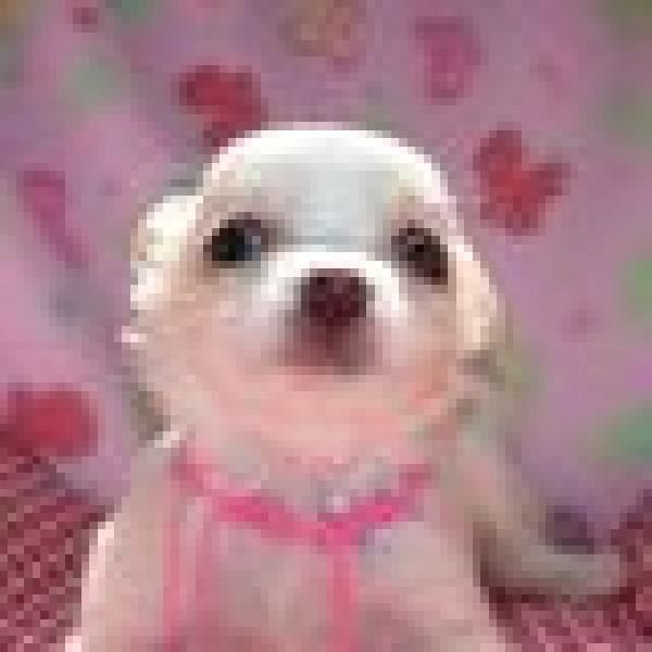 Chihuahua Puppies For Free Chihuahua Puppies For Sale Offer