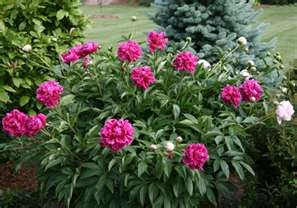 Peonies in the garden a must, Can't have to many.