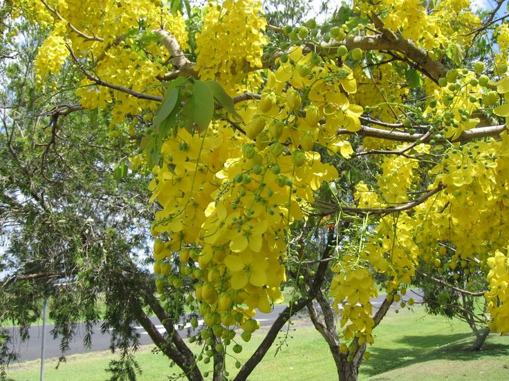 Kanikonna, known as the golden shower tree is the state