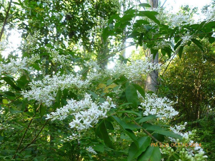 Mabel Hersilia Rodrígez: Una plaga isleña,que tiene un aroma espectacular y a las abejas le gusta mucho!!