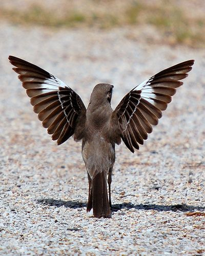 The Texas state bird - Mockingbird....kinda looks like Mocking jay from the movie