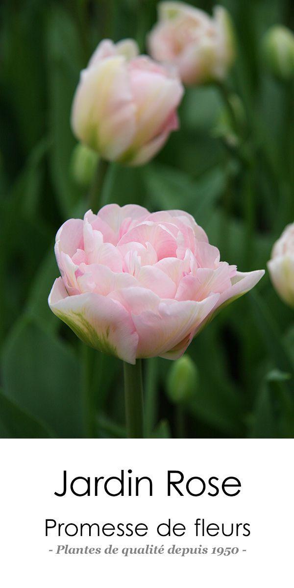 Tulipe Double Tardive Angelique: http://www.promessedefleurs.com/bulbes-de-printemps/tulipes/tulipes-doubles/tulipe-double-angelique-p-373.html