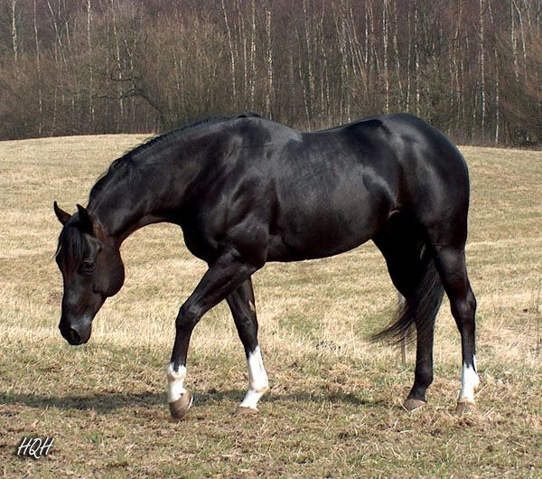 Black American Quarter Horse Stallion | peyote vision gallery american quarterhorse stallion 1999 2009 black ...