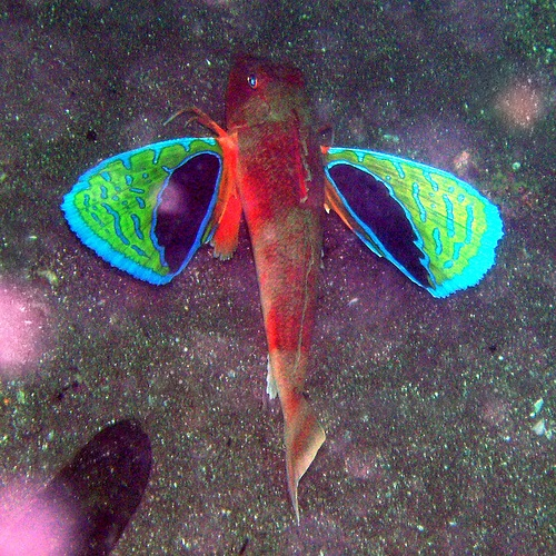 """Fish Index: Red GurnardThe Red Gurnard or Chelidonichthys spinosus is just one of the over 100 different species of Sea Robins or Gurnards.  This quite peculiar salt water fish is normally found at the sea floor of the ocean in depths of up to 200 m (660 ft).  Like other Sea Robins, they have a set of wings and six spiny feet that actually allow them to walk on the ocean floor in search of food.  These wings are actually pectoral fins that they use to """"fly"""" through the waters."""