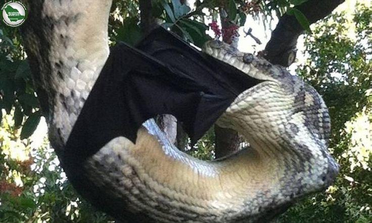 فيديو.. ثعبان بايثون يلتهم خفاشا ضخما في فناء منزل http://www.watny1.com/300424.html