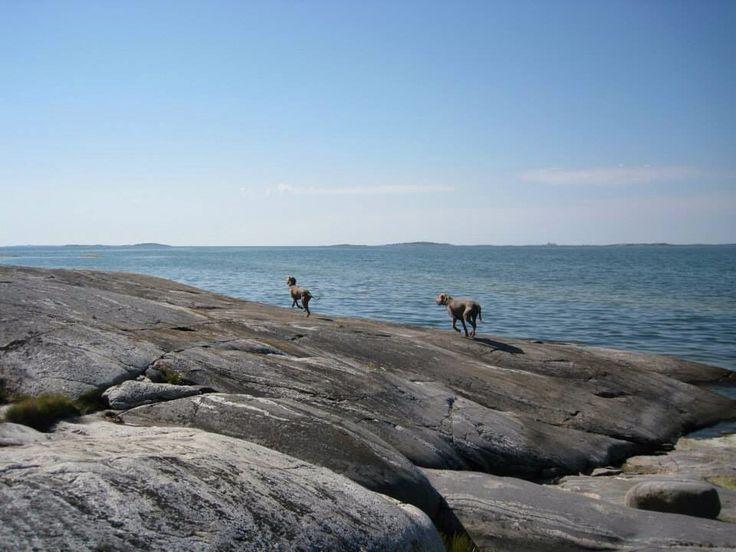 My dogs @Gåsskär , Finland #weimaraner #weimarinseisoja