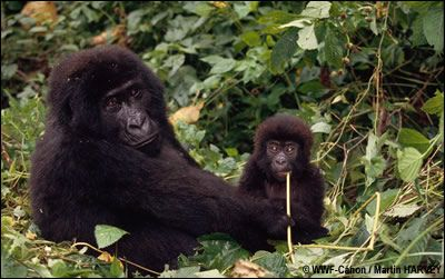 TV5MONDE- Les espèces en voie de disparition- Le gorille des montagnes