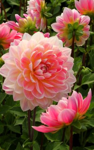 ~~Hapet® Elite Waterlily Dahlia | gorgeous pink and yellow container dahlia, perfect for sunny porches, balconies & terraces | Lubera Fruitful Gardening~~
