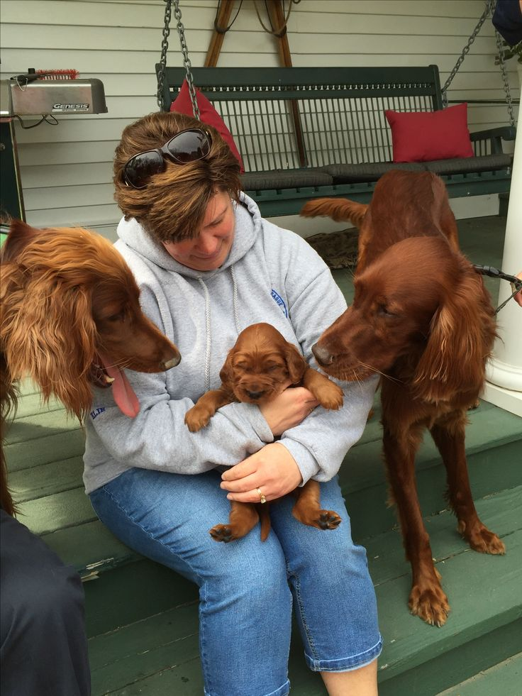 Irish setter family. Puppy bewonderen (admiration).