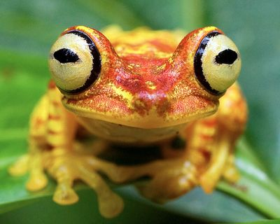 Imbabura Treefrog occurs in lowland forests of northwestern Ecuador.   (image credit: Brad Wilson, DVM)