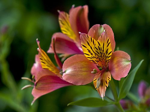 Alstroemeria | Tattoo Ideas & Inspiration - Flowers | The alstroemeria flower is a symbol of friendship and devotion, as well as good fortune, prosperity and wealth. It may also represent a longstanding bond between two people.