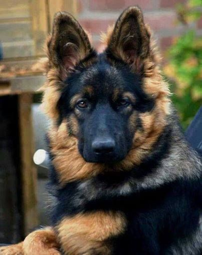 #German #Shepherd                                                                                                                                                                                 Plus