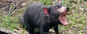 Tasmaanse duivel bijna uitgestorven, door kanker....