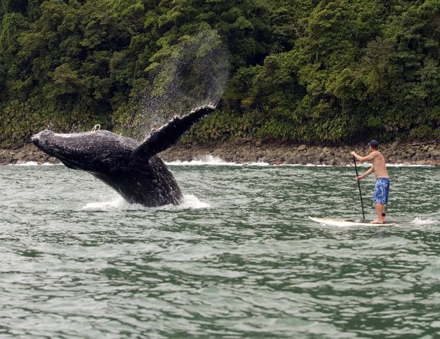 A humpback whale breaches near a paddle surfer in Nuqui, Colombia... amazing!
