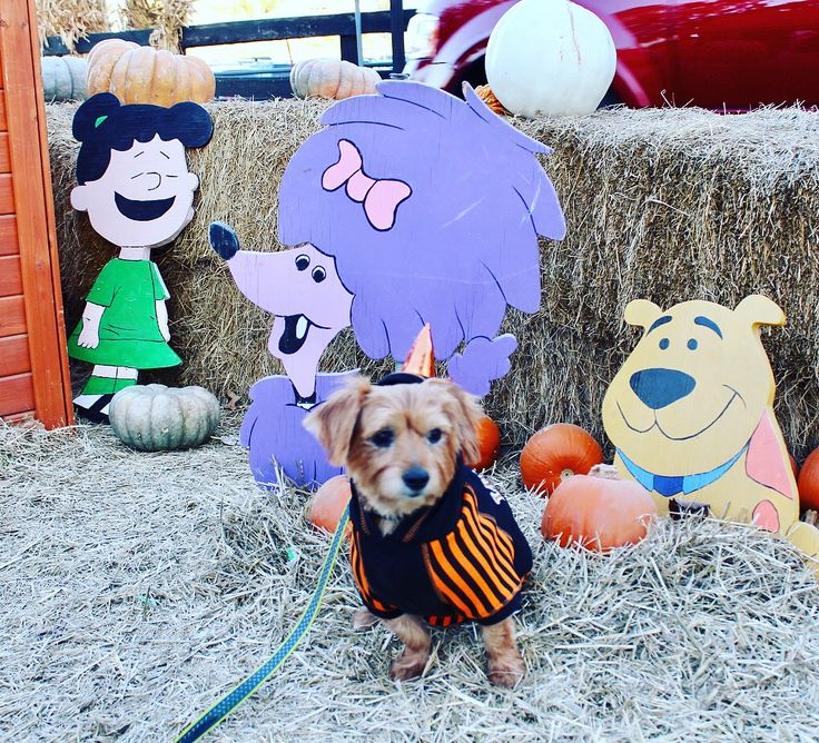 More pictures from the pumpkin patch.     #pumpkinpatch #pumpkin #fun #dog #doglover #dogsofinstagram #clifford #cleo #tbone #hulk #ghost #cartoon #pbs #outfit #style #picture #look #likes #gogreen
