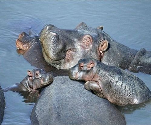 Hippo Family...i like that they are smiling