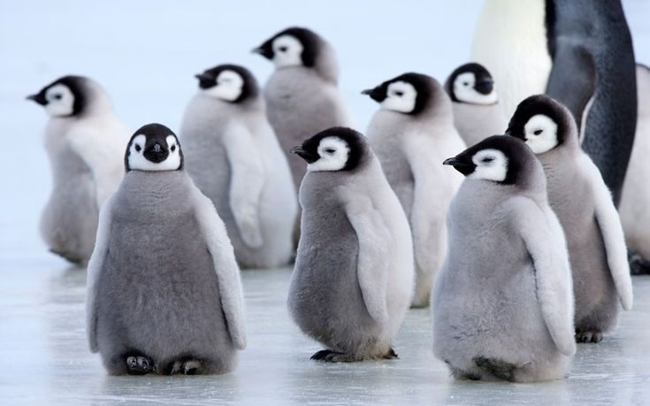 A group of emperor penguin chicks waddle along the ice in Snow Hill Island, Antarctica.   Picture: Thorsten Milse/Robert Harding/Barcroft Media