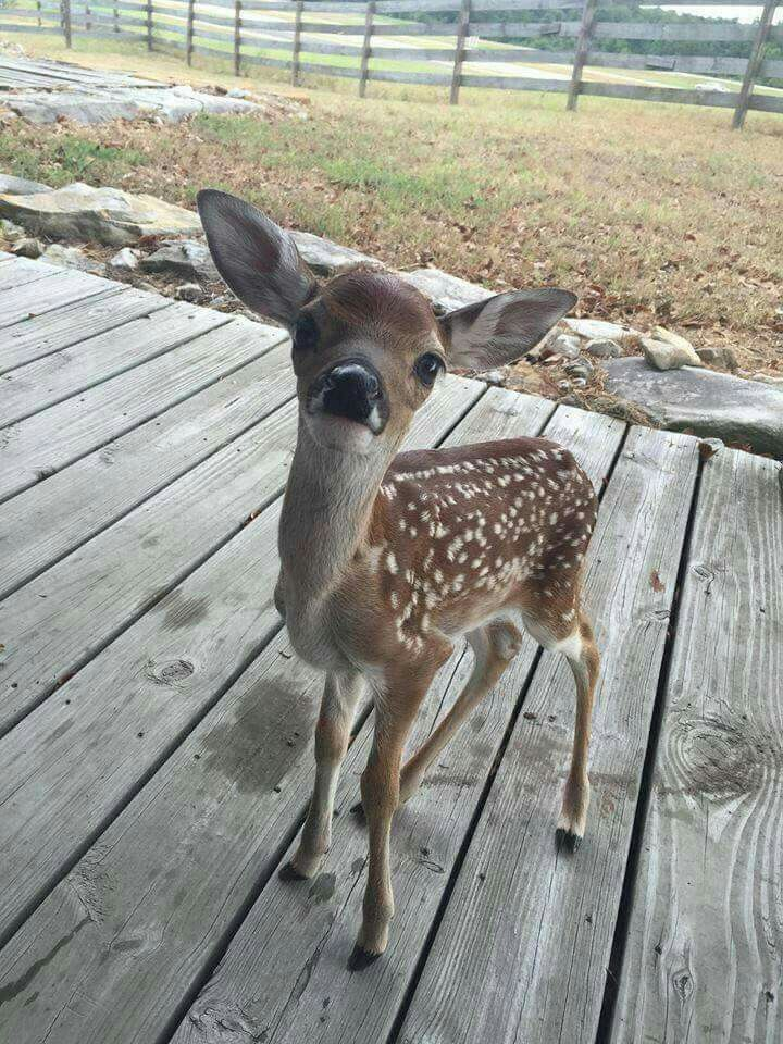 cute little fawn on my deck. cute