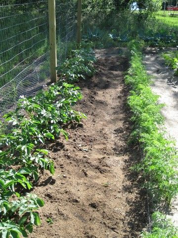 Potatoes are easy and fun to grow! Here's a quick guide, then more details w/ pictures to show you how.