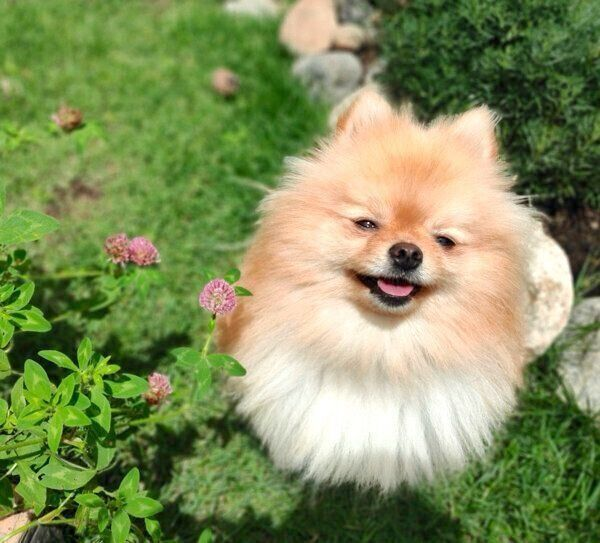 このコの犬生 私たちが預かった と誓ったぽぽちゃんとの出会い 特別企画 スマイルドッグ ありがとうを叫ぼう いぬのきもちweb Magazine 犬 犬 画像 いぬ