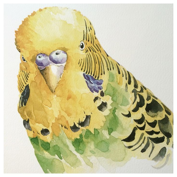 Australian Budgie by Stefan Gevers for Paper Empire