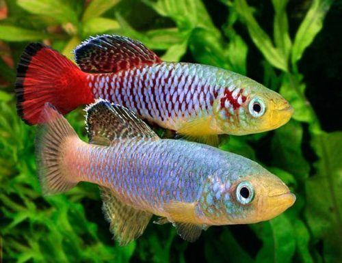 gunther s blue zanzibar killifish freshwater fish gallery rh pinterest com