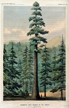 Image result for colour redwood tattoo