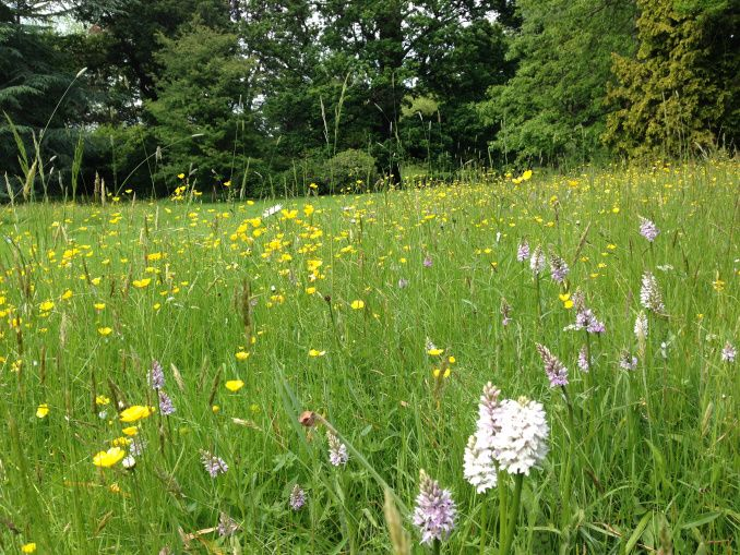 Native orchids in an English meadow at Woburn Abbey