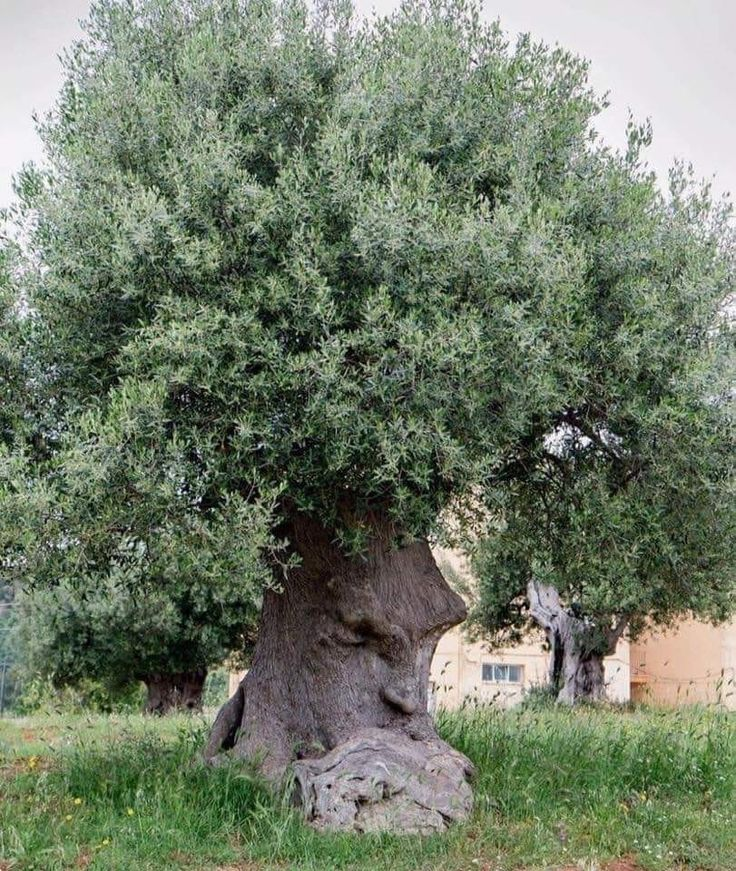 The Thinking Tree An ancient olive tree in Puglia, Italy