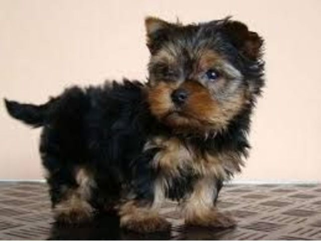 perfect tiny Teacup Yorkie puppy.