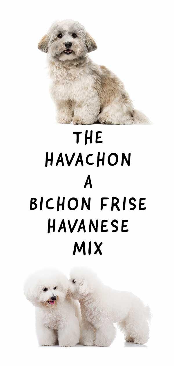 Havachon Der Bezaubernde Havaneser Und Bichon Frise Mix Havaneser Kleine Hunde Shih Tzu Hund