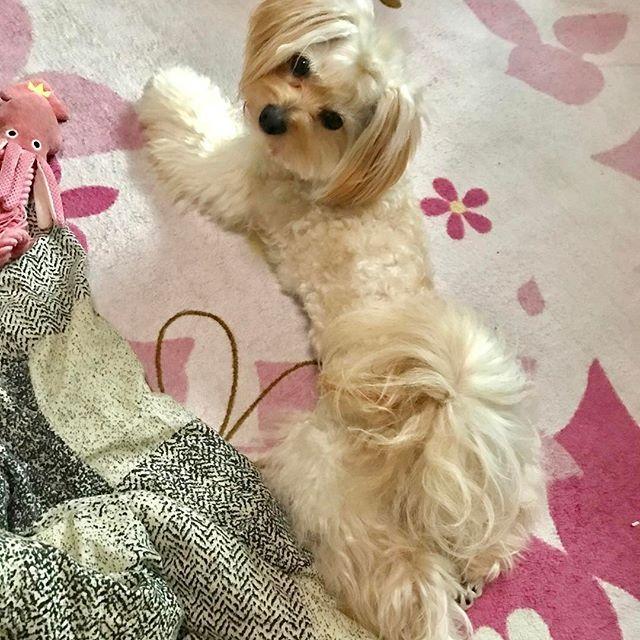 んふ💕  #ペッパラ で買ったイカを振り回して、置いて、休憩ww 長持ちしとるなぁ💖 ていうか、そもそもおもちゃを壊したことないけど…  #ポメプー #ポメラニアン #プードル #オス #ラミ #愛犬 #あまえんぼ #可愛い #もふもふ #ミックス犬 #ハーフ犬 #20140531 #2歳 #癒し #親バカ #滋賀から来た #ブリーダーは毛芝さん #パテラ