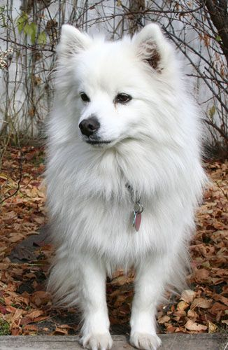 The Toy American Eskimo Dog is an intelligent, energetic, playful, and affectionate companion dog. They are excellent watchdogs, and take their watchdog duties very seriously. They are naturally protective of their homes and families.